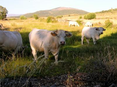 spain cows