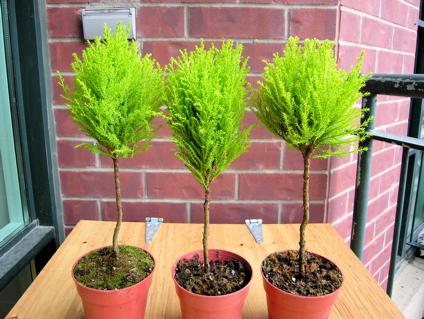 pompom trees
