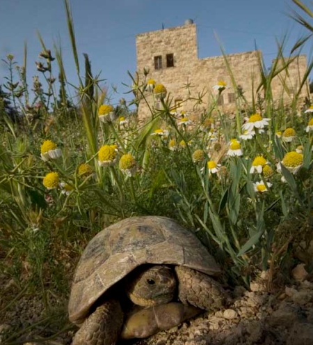 Tortoise at Bustan Qaraaqa permaculture farm in the West Bank