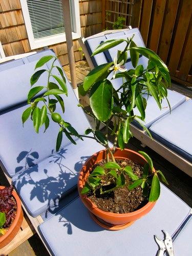 meyertree
